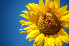 Blossoming raw sunflower on field with blue sky Stock Images