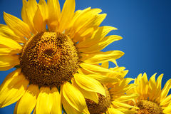 Blossoming raw sunflower on field with blue sky Royalty Free Stock Images