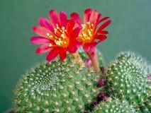 blossoming rebutia mansoneri кактуса Стоковое Фото