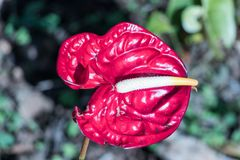 The Blossoming Red Anthurium in the Cold Weather royalty free stock photo