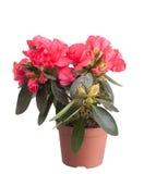 Blossoming red azalea Stock Photography