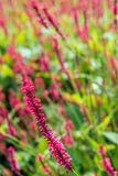 Blossoming Red Bistort flower spike from close Royalty Free Stock Image