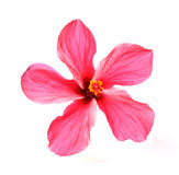 Blossoming red flower of treelike Hibiscus Stock Photography