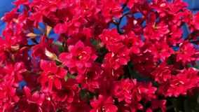 Blossoming red flowers stock video