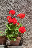Blossoming red geranium Stock Image