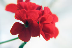 Blossoming red geranium. Flowers in garden. Close-up Royalty Free Stock Photos