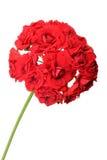 Blossoming red geranium Stock Photos