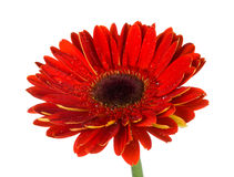 Blossoming red gerbera Royalty Free Stock Image