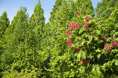 Blossoming red horse-chestnut tree. In front of lined green trees in early summer Stock Photos