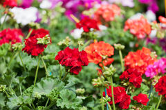 Blossoming red and pink geranium Stock Photos
