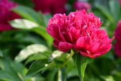 Blossoming red/pink peony flower. With green leaves growing in a garden closeup Stock Photos