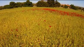 Fly over blossoming red poppies field stock video footage