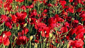 Blossoming red poppies on sunny day stock video footage