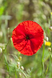 Blossoming red poppy stock photo