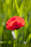 Blossoming red poppy stock images