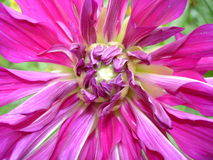Blossoming red-purple dahlia Royalty Free Stock Photos
