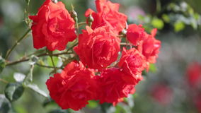 Blossoming red roses. Bush with the blossoming red roses stock video footage