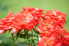 Blossoming red roses Stock Images