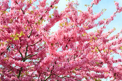 Blossoming red tree Royalty Free Stock Image