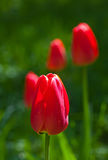 Blossoming red tulips Royalty Free Stock Photography