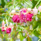 Blossoming red and white a fuchsia flower outdoor background, Stock Images