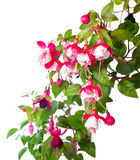 Blossoming red and white of a fuchsia is isolated Stock Image