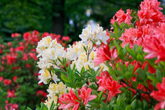 Blossoming of red and yellow rhododendrons and azaleas Stock Photo