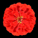 Blossoming Red Zinnia Flower  Elegans Isolated on Black Stock Images