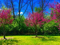 Blossoming Redbuds. Beautiful blooming Redbud trees in front of clear blue sky Stock Photography