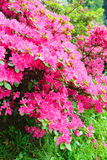 Blossoming Rhododendron bush with pink flowers Royalty Free Stock Image