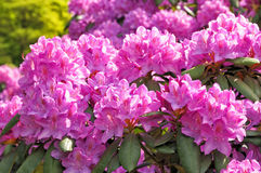 blossoming rhododendrons Stock Photo