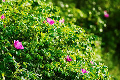 Blossoming Rosa canina shrub, commonly known as the dog rose. Stock Photo