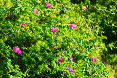Blossoming Rosa canina shrub, commonly known as the dog rose. Stock Images