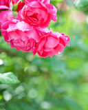 Blossoming rose bush in spring Stock Photos