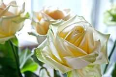 Blossoming rose Royalty Free Stock Images