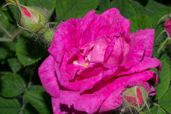 A blossoming rose flower with bright pink petals. Macro Stock Photos