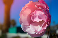 Blossoming rose flower in the garden. Beautiful blossoming rose flower in the garden.pink rose flower Royalty Free Stock Photos
