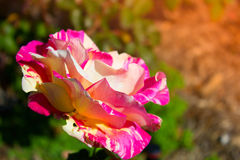 Blossoming rose flower in the garden. Beautiful blossoming rose flower in the garden.pink rose flower Royalty Free Stock Photography