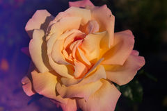 Blossoming rose flower in the garden. Beautiful blossoming rose flower in the garden.pink rose flower Stock Photos