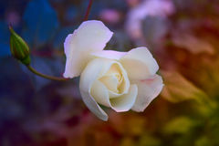 Blossoming rose flower in the garden. Beautiful blossoming rose flower in the garden.white rose flower Stock Photo