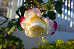 Blossoming rose flower in the garden. Beautiful blossoming rose flower in the garden.white rose flower Stock Photography