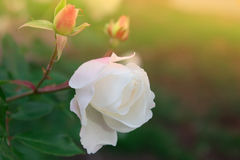 Blossoming rose flower in the garden. Beautiful blossoming rose flower in the garden. white (pink)  rose flower Royalty Free Stock Photography