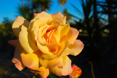 Blossoming rose flower in the garden. Beautiful blossoming rose flower in the garden.yellow rose flower Royalty Free Stock Image
