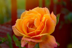 Blossoming rose flower in the garden. Beautiful blossoming rose flower in the garden.yellow rose flower Royalty Free Stock Photos