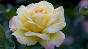 Blossoming rose flower at sunrise. Flowers in the early summer with a light breeze. Close up of creamy yellow flower bud in macro stock video footage