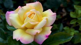 Blossoming rose flower at sunrise. Flowers in the early summer with a light breeze. Close up of creamy yellow flower bud in macro stock footage