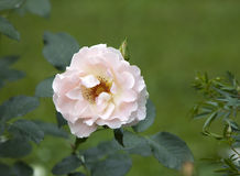 The blossoming rose in garden Stock Photography