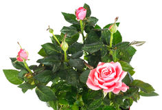 Blossoming rose plant with dew drops Stock Photos