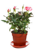 Blossoming rose plant in flowerpot Royalty Free Stock Images