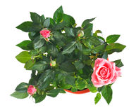 Blossoming rose plant in flowerpot Royalty Free Stock Photography